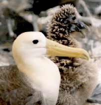 Galapagos Albatross bird affected by Air pollution. Image by Information for Action, a website for conservation and environmental issues offering solutions