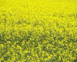 Rape field and corporate responsibility. Image by Information for Action, a website for conservation and environmental issues